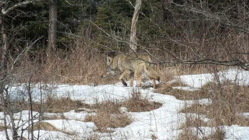 Photo of a Coyote walking slowly and smelling the air in the bush, in the Claireville Conservation Area, in northwest Toronto - Ontario. March 8, 2013