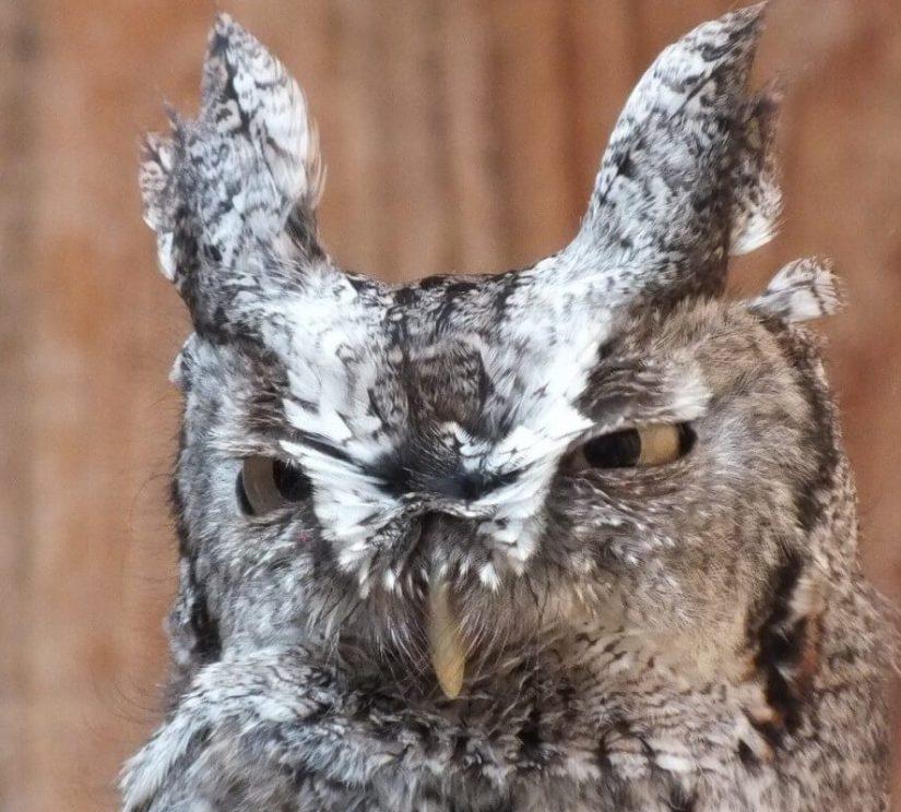 Eastern Screech owl with both eyes open - Mountsberg Raptor Centre