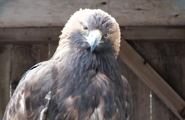 Golden Eagle gives us a curious look at the Mountsberg Raptor Centre