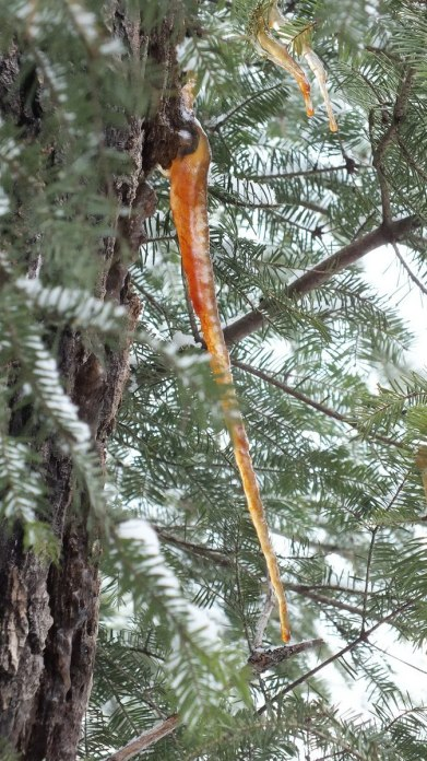 Golden icicles on tree in Algonquin Provincial Park