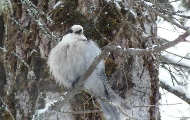 Gray Jay - in Algonquin Park