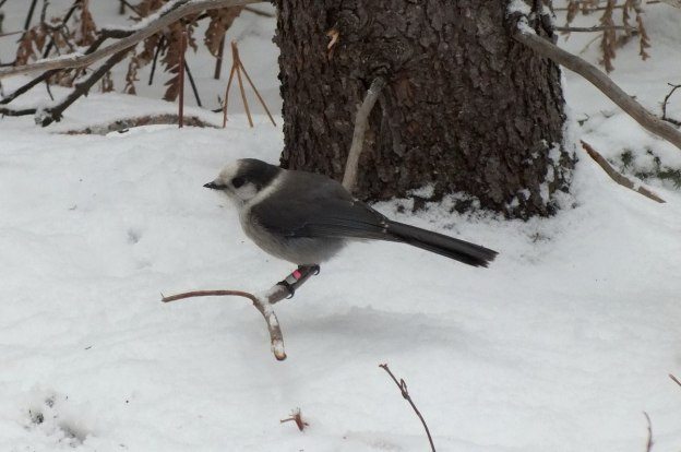 Gray Jay sits on a tree with banding tags on legs in Algonquin Park