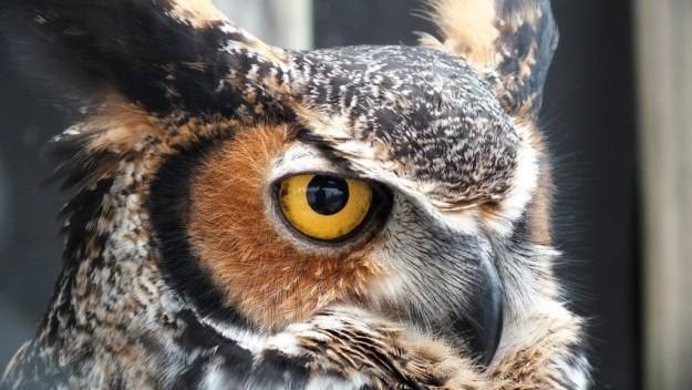 Closeup of a Great Horned Owl's face