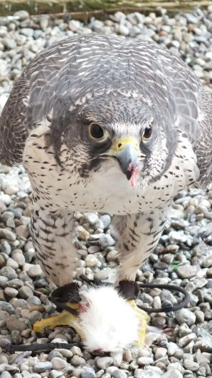 Gyrfalcon named Nahanni eats a mouse at Mountsberg Raptor Centre