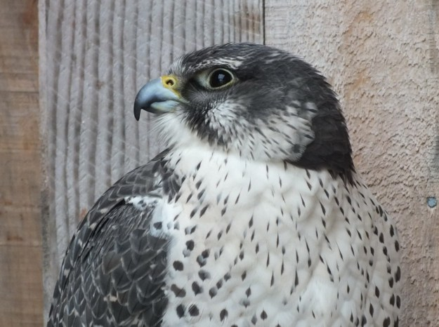Gyrfalcon named Nahanni - profile - Mountsberg Raptor Centre