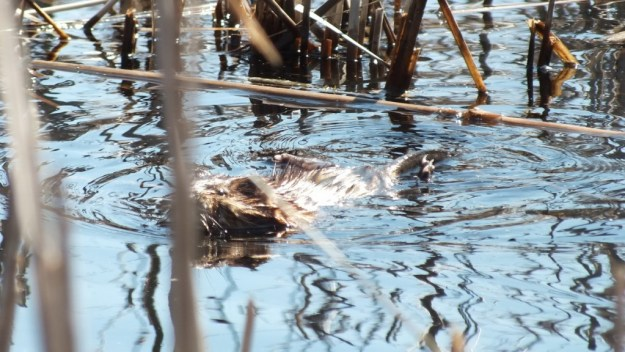 Muskrat holds its rear feet out of the water