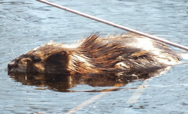 Muskrat's furry back - Mississauga - Ontario