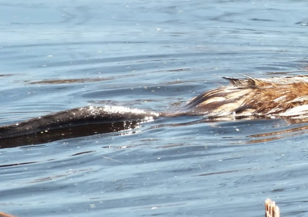 Muskrat baby - closeup of its tail in water