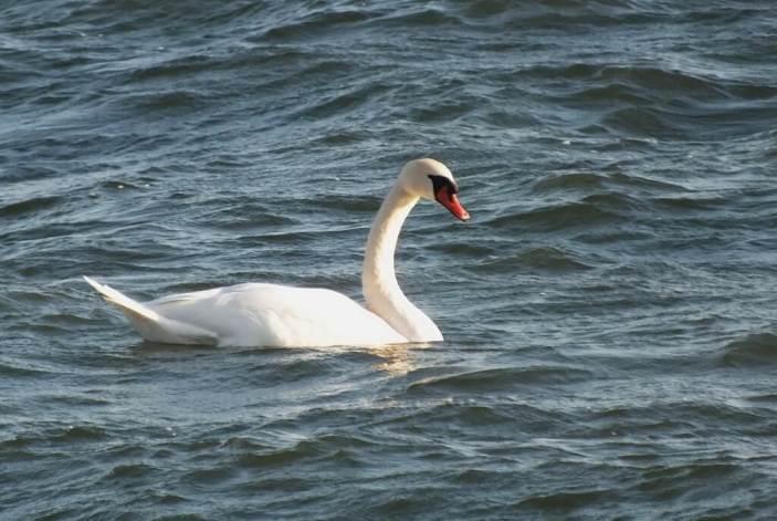 Mute Swan swimming on lake ontario