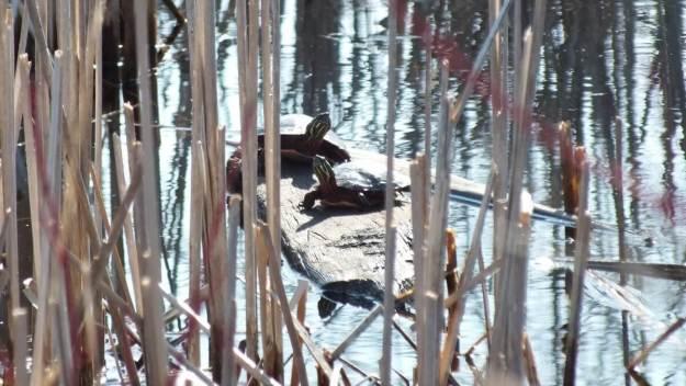 Painted Turtles in muskrat pond - Mississauga - Ontario