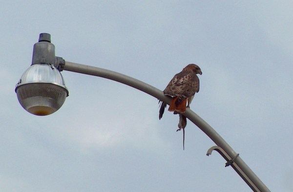 Red Tailed Hawk holds rat in its claws in Toronto