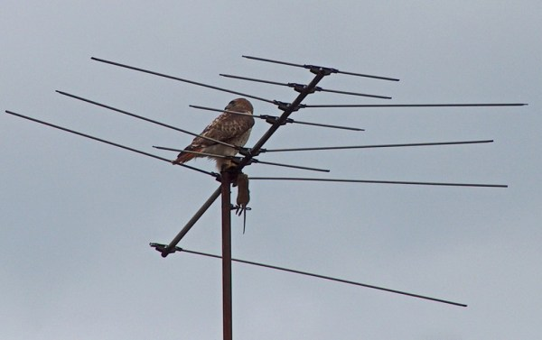 A Red Tailed Hawk holds on to a rat on TV Antenna in Toronto, Ontario