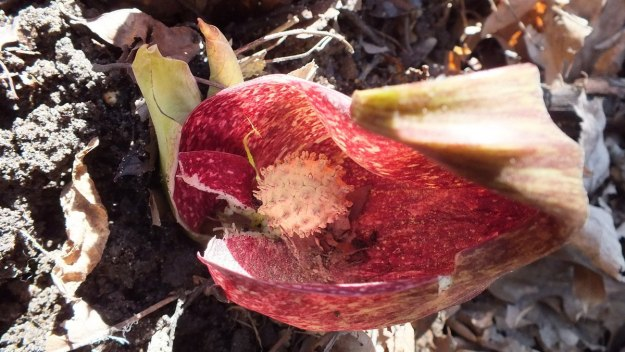 Skunk cabbage plant - view of the spathe pod in springtime