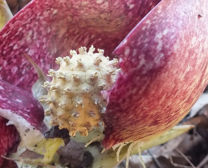Skunk Cabbage plant - closeup of the spadix knob