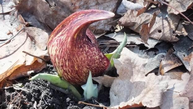 Skunk Cabbage plant - spathe pod
