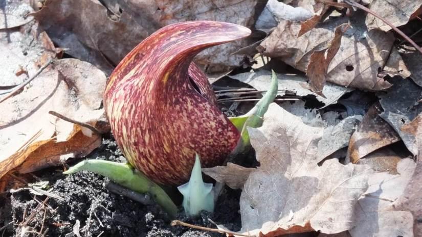 Skunk Cabbage plant, spathe bract, cootes paradise, hamilton, ontario