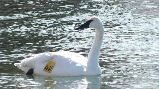 Trumpeter swan number A41 at Washago - Ontario