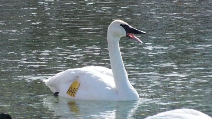 Trumpeter swan A41 - beak open - Washago beach - Ontario