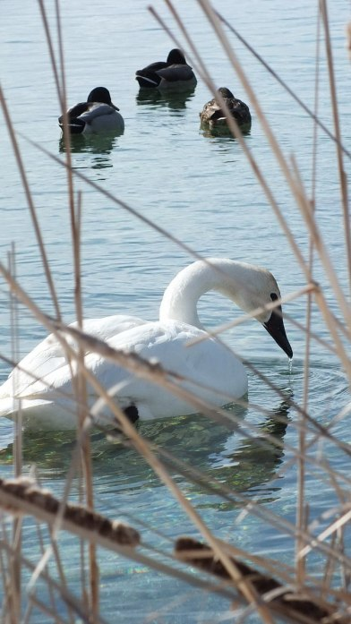 Trumpeter swan - drinks - Washago beach - Ontario