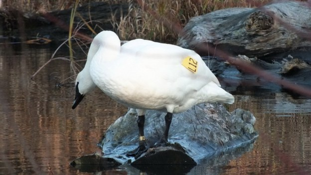 Trumpeter swan L12 - lifts head - Rouge National Park - Ontario