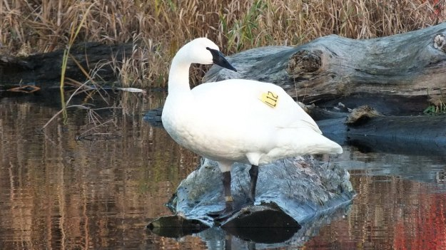 Trumpeter swan - looks left - Rouge National Park - Ontario