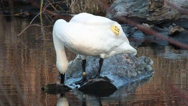Trumpeter swan L12 - swamp - Rouge National Park - Ontario