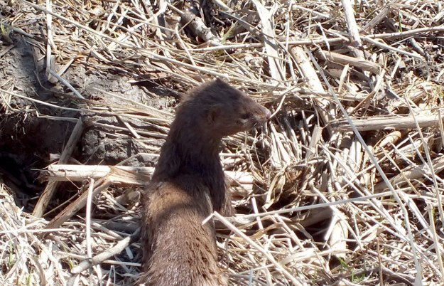 Weasel looks to the right side for muskrat