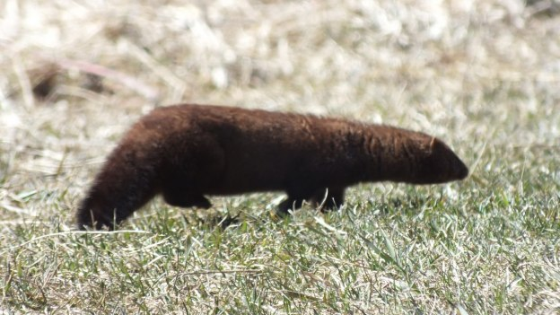 Weasel runs across field in a blur - Mississauga - Ontario