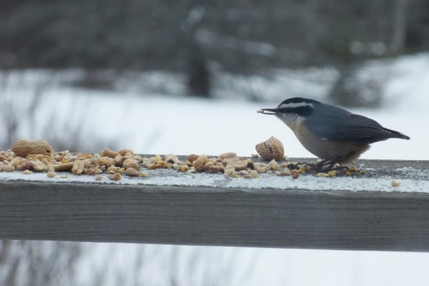 White Breasted Nuthatch at Pinetree shelter -2- Algonquin Park - Ontario