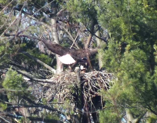 Bald Eagle lands in nest in Cootes Paradise Marsh - Hamilton - Ontario