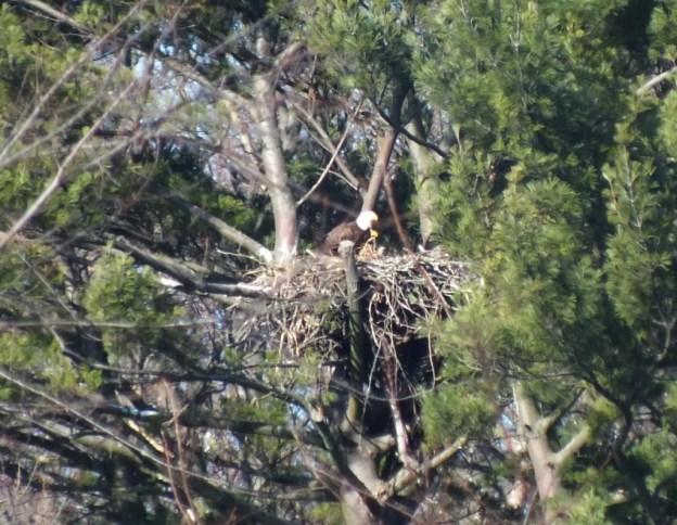 Bald Eagles together on nest - Cootes Paradise Marsh - Hamilton - Ontario