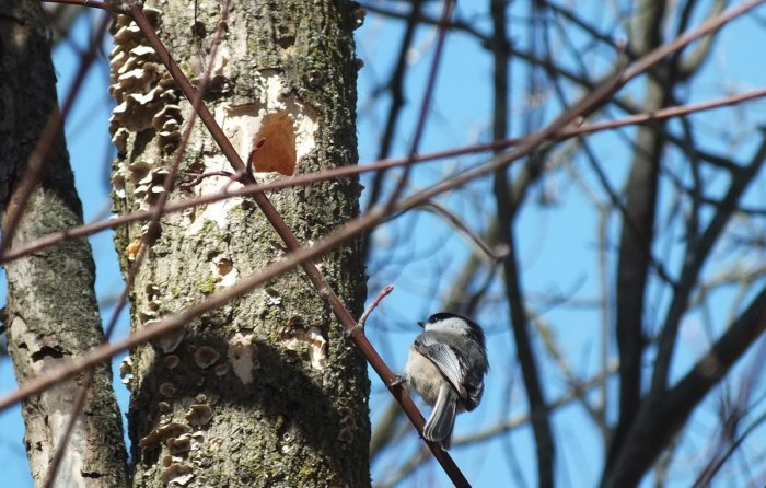 Black-capped chickadee sits on limb - thicksons woods