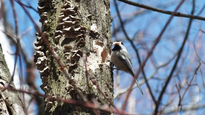 Black-capped chickadee with full peak of woodchips - thicksons woods