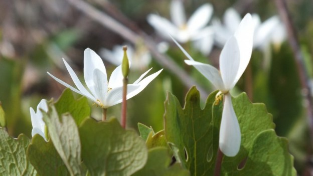 Bloodroot Closeup, Beamer Memorial Conservation Area, Grimsby