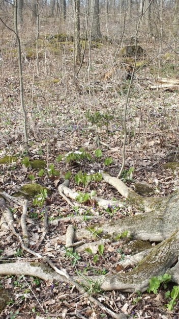 Bloodroot Plants on Forest Floor, Beamer Memorial Conservation Area, Grimsby