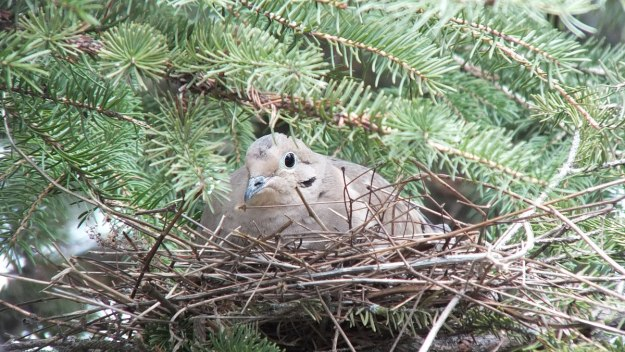 Dove on its nest in Thicksons Woods - Whitby - Ontario
