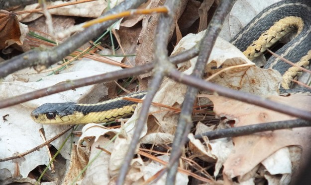 Garter snake moves through leaves below Great Horned Owls - Thicksons Woods - Ontario