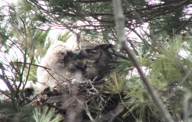 Great Horned Owl chick pecks mom in nest - Thicksons Woods - Whitby - Ontario
