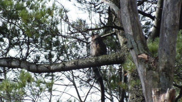 Great Horned Owl father sits in pine tree watching nest - Thicksons Woods - Whitby - Ontario