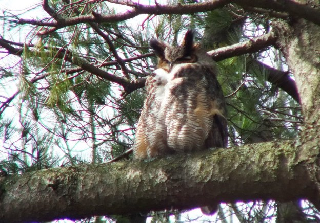 Great Horned Owl father watches nest - Thicksons Woods - Whitby - Ontario