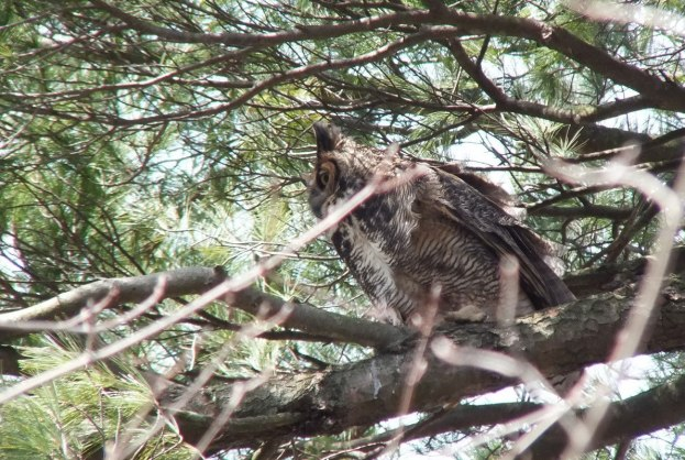 Great Horned Owl mom heads back to nest - Thicksons Woods - Whitby - Ontario