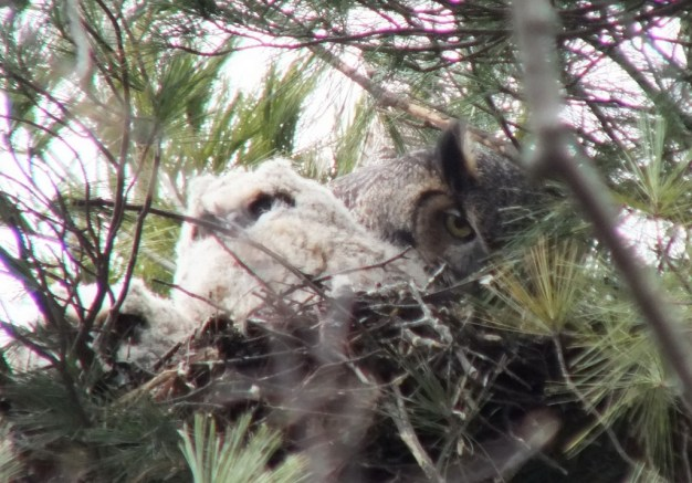 Great Horned Owl mom with chick - Thicksons Woods - Whitby - Ontario