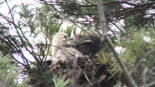 Great Horned Owl mom with chick in nest - Thicksons Woods - Whitby - Ontario