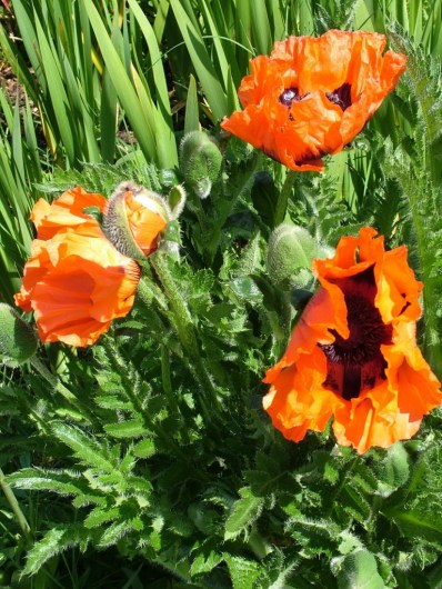Poppies in the Walled Garden - Powerscourt - Ireland