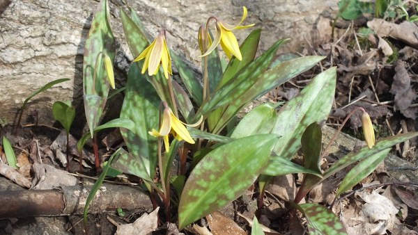 Trout Lily Plants, Cootes Paradise, Burlington