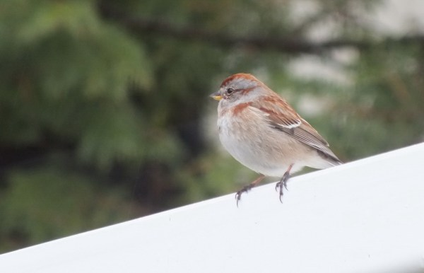 american tree sparrow sits on roof - oxtongue lake - ontario
