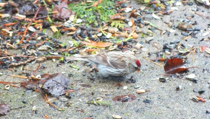 common red poll feeds on ground - oxtongue lake - ontario