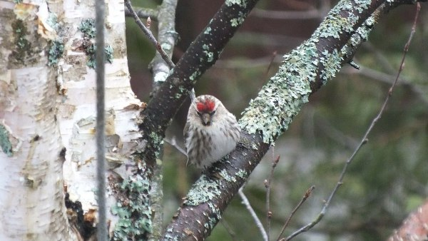 common red poll - looks down from tree - oxtongue lake - ontario