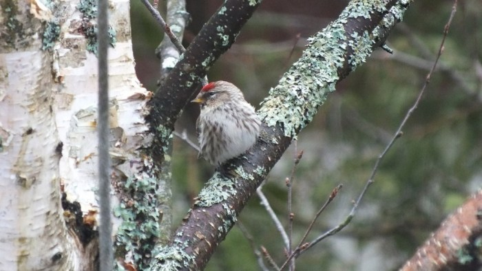 common red poll - on tree - oxtongue lake - ontario