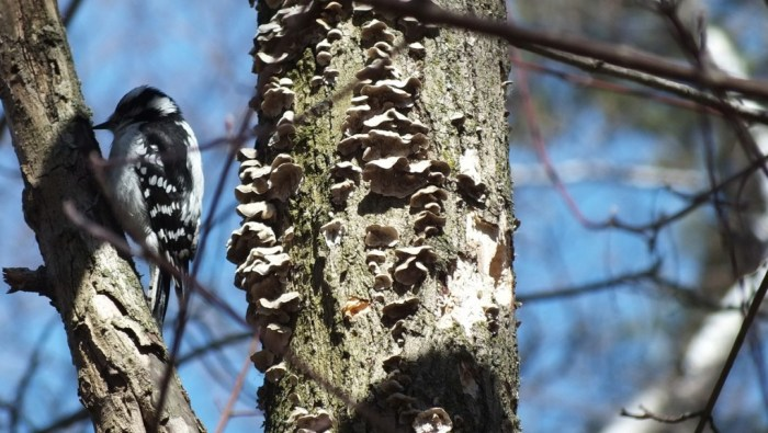 downy woodpecker sits on tree near black-capped chickadee tree - thickson woods